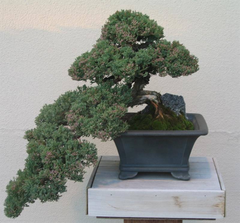 4 dáng cây cơ bản trong nghệ thuật cây cảnh