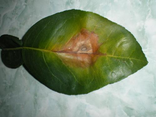 benh than thu tren cay buoi va cach khac phuc - Bệnh thán thư trên cây bưởi và cách khắc phục
