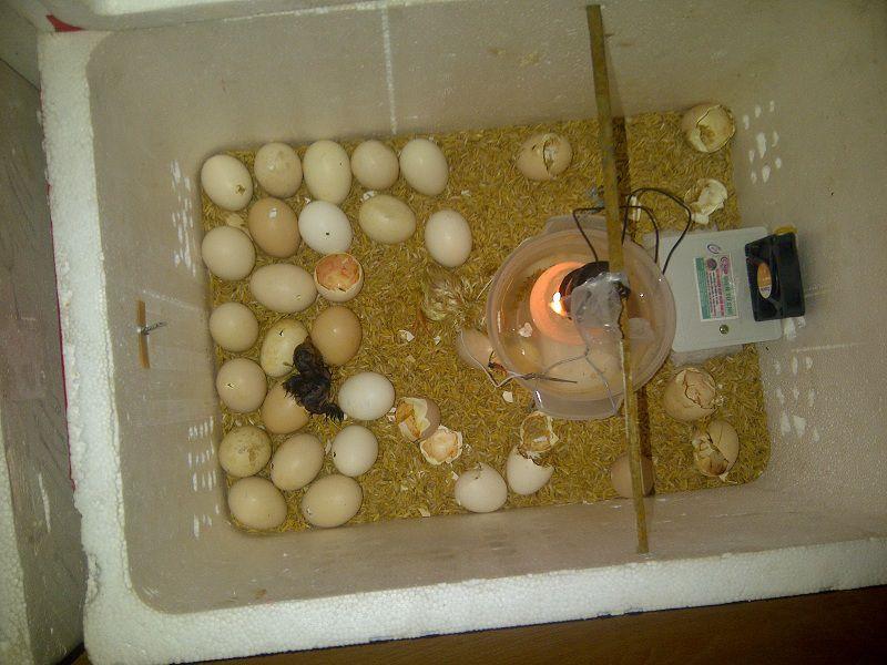 Cách ấp trứng gà bằng bóng đèn điện. Hướng dẫn tự ấp trứng gà tại nhà