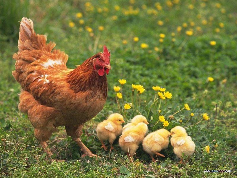 cach ap trung ga thu cong ap tu nhien cach lam cho ga mai ap trung - Cách ấp trứng gà thủ công (ấp tự nhiên). Cách làm cho gà mái ấp trứng