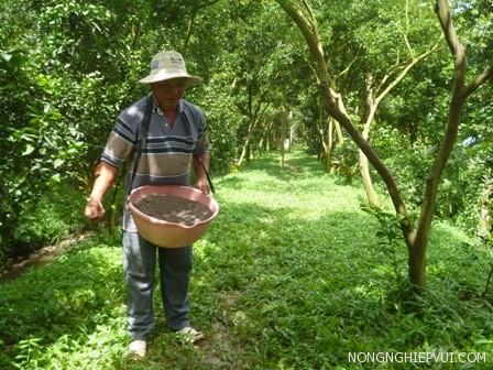 cach bon phan cho buoi sau khi thu hoach - Cách bón phân cho bưởi sau khi thu hoạch