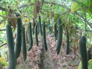 cach cham soc cay bi dao quanh nam 4 - Cách chăm sóc cây bí đao quanh năm