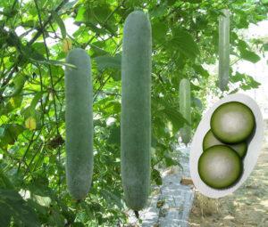 cach cham soc cay bi dao quanh nam - Cách chăm sóc cây bí đao quanh năm