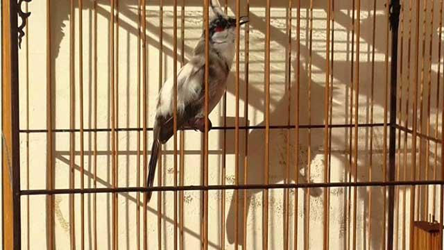 cach cham soc chim chao mao cang lua – hot hay – dang dep 10 - Cách chăm sóc chim chào mào căng lửa – hót hay – dáng đẹp