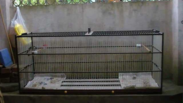 cach cham soc chim chao mao cang lua – hot hay – dang dep 7 - Cách chăm sóc chim chào mào căng lửa – hót hay – dáng đẹp