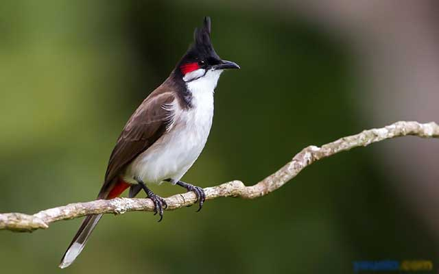 cach cham soc chim chao mao cang lua – hot hay – dang dep - Cách chăm sóc chim chào mào căng lửa – hót hay – dáng đẹp