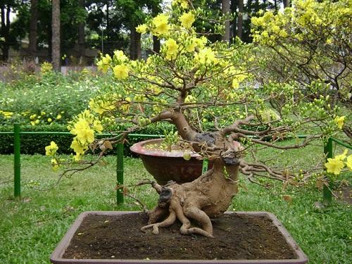 Hướng dẫn cách chọn một cây mai đẹp