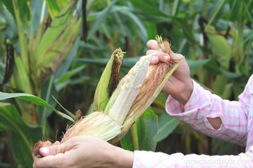 cach khac phuc hien tuong bap khong hat - Cách khắc phục hiện tượng bắp không hạt