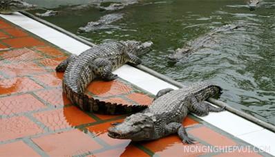 cach phong va tri benh cho ca sau - Cách phòng và trị bệnh cho cá sấu