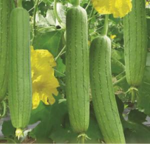 cach trong cay muop huong don gian - Cách trồng cây mướp hương đơn giản
