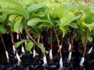 cach trong cay na dai thom ngon 1 - Cách trồng cây na dai thơm ngon