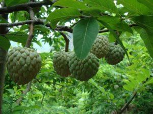 cach trong cay na dai thom ngon 4 - Cách trồng cây na dai thơm ngon