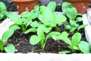 cach trong cay rau cai ngot quanh nam 1 - Cách trồng cây rau cải ngọt quanh năm