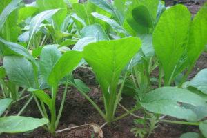 cach trong cay rau cai ngot quanh nam 4 - Cách trồng cây rau cải ngọt quanh năm