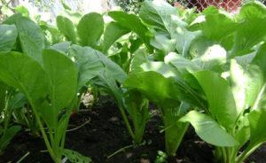 cach trong cay rau cai ngot quanh nam 5 - Cách trồng cây rau cải ngọt quanh năm
