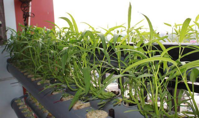 cach trong rau muong tai nha don gian 2 - Cách trồng rau muống tại nhà đơn giản