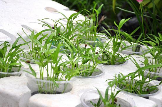 cach trong rau muong tai nha don gian 3 - Cách trồng rau muống tại nhà đơn giản