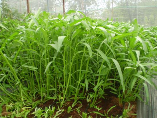 cach trong rau muong tai nha don gian 6 - Cách trồng rau muống tại nhà đơn giản