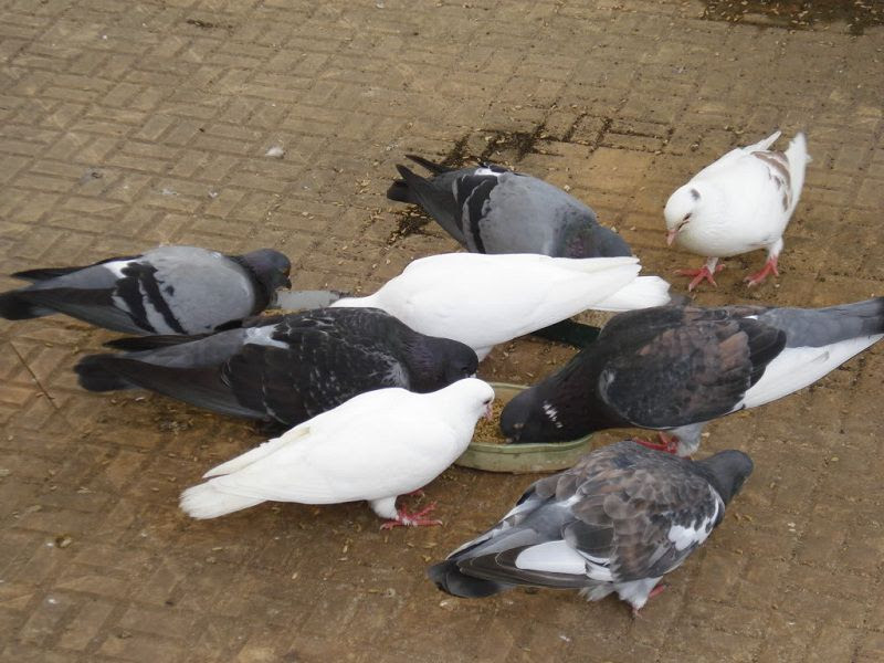 Chim bồ câu ăn gì? Các loại thức ăn & Chi phí thức ăn cho chim bồ câu