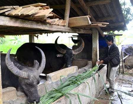 chuong nuoi trau huong dan cach lam - Chuồng nuôi trâu: Hướng dẫn cách làm