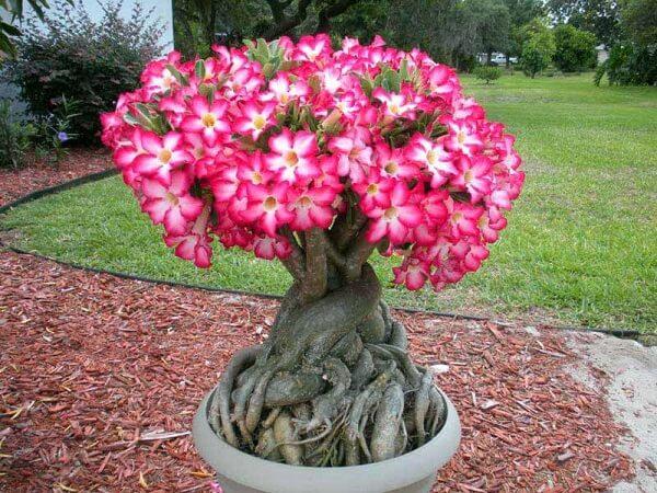 dac diem va cach cham soc cay su phat trien tot 1 - Đặc điểm và cách chăm sóc cây sứ phát triển tốt