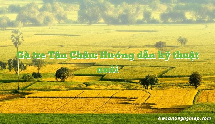 Gà tre Tân Châu: Hướng dẫn kỹ thuật nuôi