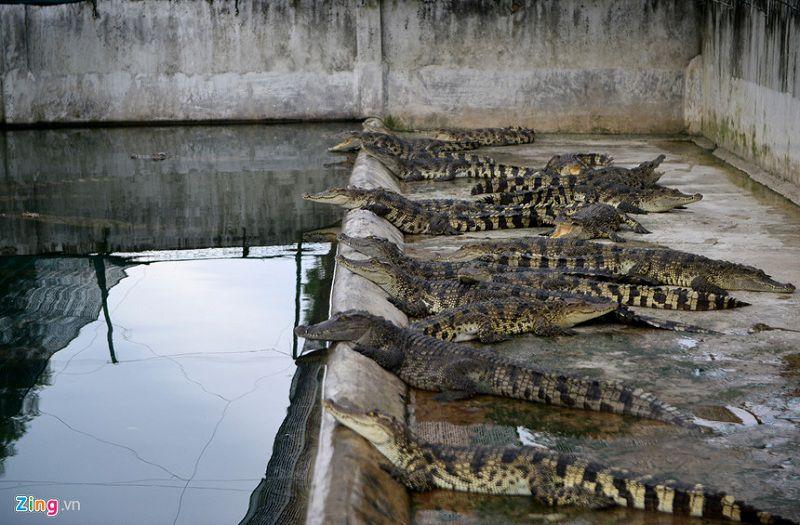 gia ca sau giong gia cac san pham tu ca sau trang trai ban ca sau giong ca nu 1 - Giá cá sấu giống. Giá các sản phẩm từ cá sấu. Trang trại bán cá sấu giống cả nước