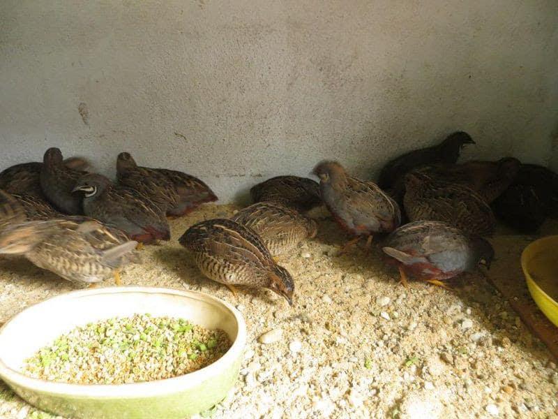 Giá chim cút giống, cút thịt & trứng cút. Trang trại mua bán chim cút giống