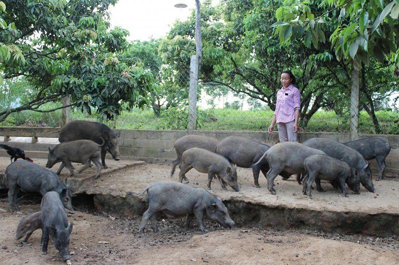 gia lon man giong va thit trang trai ban lon man giong tren ca nuoc 1 - Giá lợn mán giống và thịt. Trang trại bán lợn mán giống trên cả nước