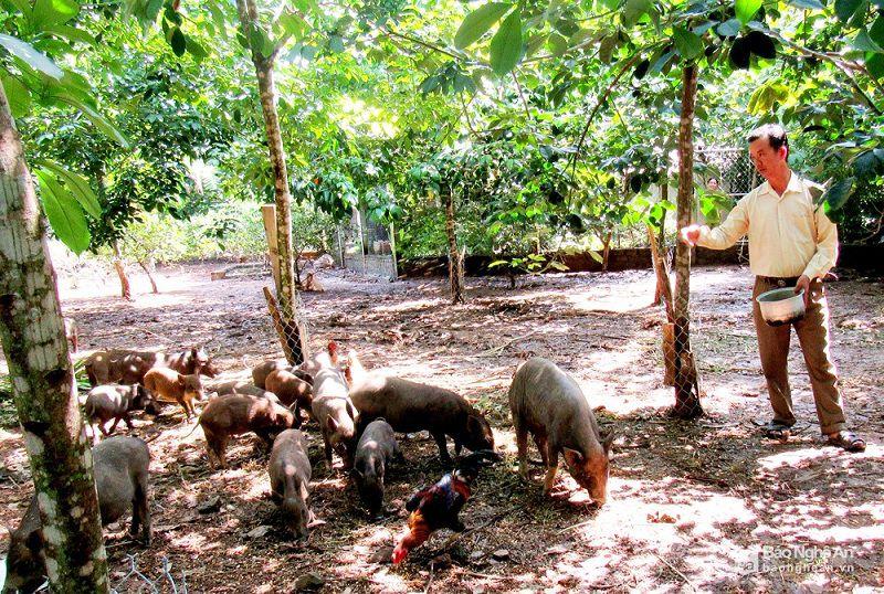 gia lon man giong va thit trang trai ban lon man giong tren ca nuoc - Giá lợn mán giống và thịt. Trang trại bán lợn mán giống trên cả nước
