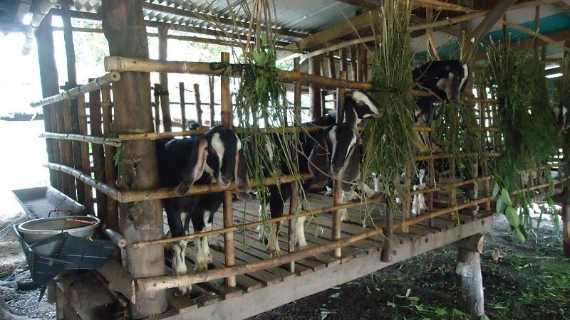 huong dan cach lam chuong nuoi de thit va de sinh san 1 - Hướng dẫn cách làm chuồng nuôi dê thịt và dê sinh sản