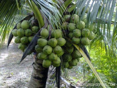 huong dan ki thuat trong cay dua xiem dua - Hướng dẫn kĩ thuật trồng cây dừa xiêm dứa