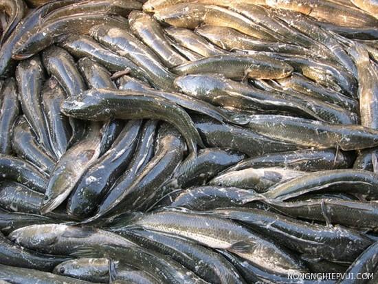 ki thuat nuoi ca loc thit - Kĩ thuật nuôi cá lóc thịt