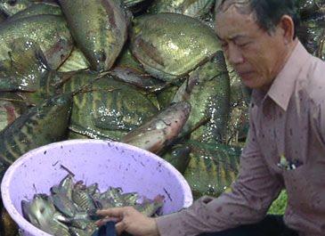 kinh nghiem san xuat giong ca sac ran - Kinh nghiệm sản xuất giống cá sặc rằn