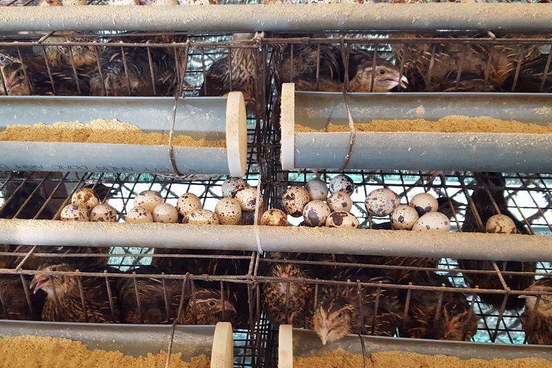 Kỹ thuật làm chuồng nuôi chim cút thịt và Chuồng nuôi chim cút sinh sản