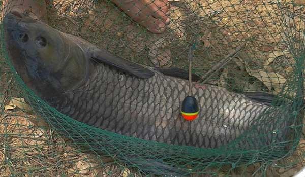 Đánh bắt cá trắm đen