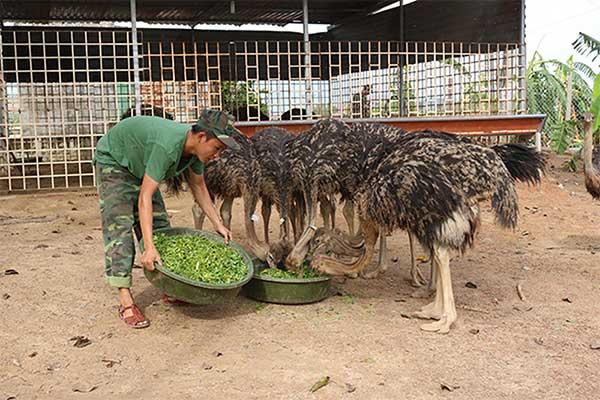 Cho đà điểu ăn rau xanh