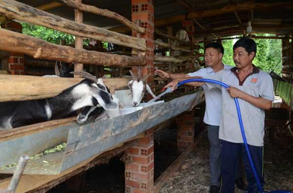 ky thuat nuoi de nhot chuong – nhanh lon – it benh tat 5 - Kỹ thuật nuôi Dê nhốt chuồng – nhanh lớn – ít bệnh tật