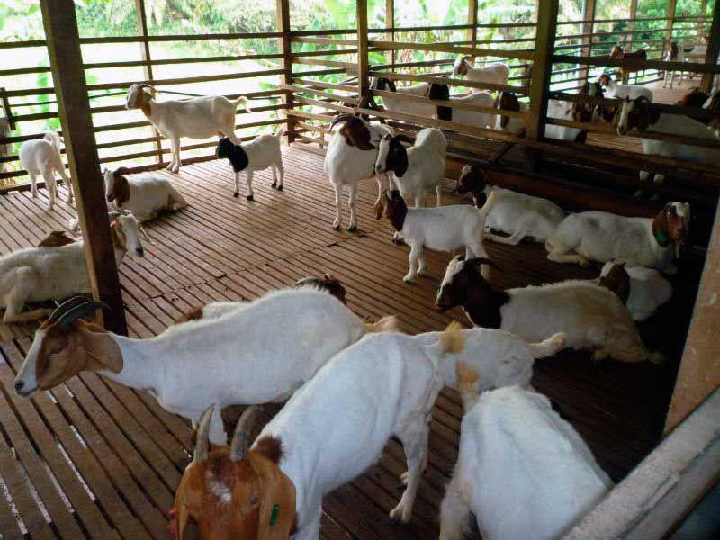 ky thuat nuoi de thit nhot chuong va chan nuoi de tha rong 1 - Kỹ thuật nuôi dê thịt nhốt chuồng và chăn nuôi dê thả rong