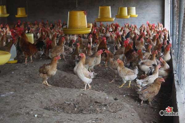 ky thuat nuoi ga nhot chuong it benh tat – hieu qua kinh te 3 - Kỹ thuật nuôi gà nhốt chuồng ít bệnh tật – hiệu quả kinh tế