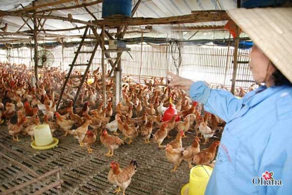 ky thuat nuoi ga nhot chuong it benh tat – hieu qua kinh te 5 - Kỹ thuật nuôi gà nhốt chuồng ít bệnh tật – hiệu quả kinh tế