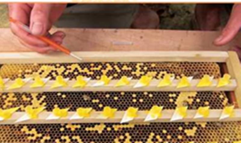 ky thuat nuoi ong mat ong noi apis cerana - Kỹ thuật nuôi ong mật (ong nội- Apis cerana)