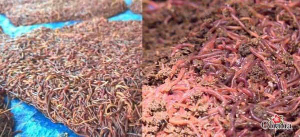 ky thuat nuoi trun que nang suat cao – nhanh duoc thu hoach 5 - Kỹ thuật nuôi trùn quế năng suất cao – nhanh được thu hoạch