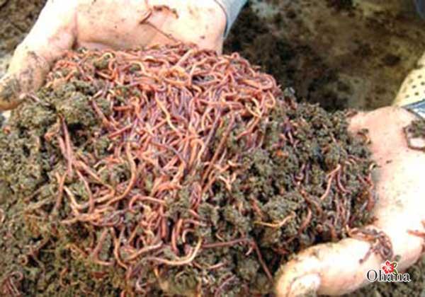 Kỹ thuật nuôi giun trùn quế