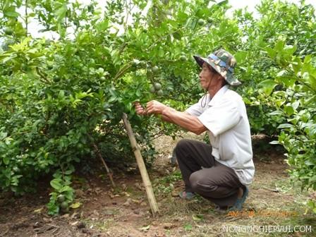 ky thuat trong cay chanh cho trai quanh nam 1 - Kỹ thuật trồng cây chanh cho trái quanh năm