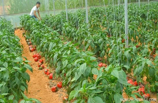 ky thuat trong cay ot ngot an toan - Kỹ thuật trồng cây ớt ngọt an toàn