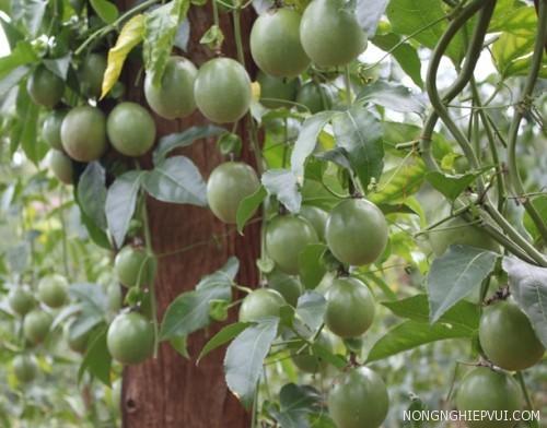 ky thuat trong cham soc cay chanh leo - Kỹ thuật trồng chăm sóc cây chanh leo