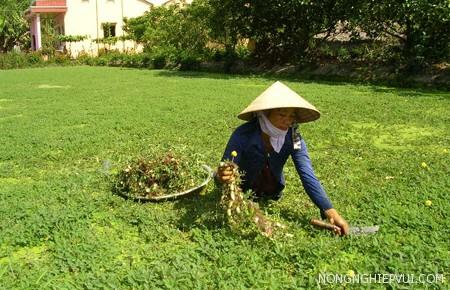 ky thuat trong va bon phan cho cay rau nhut - Kỹ thuật trồng và bón phân cho cây rau nhút