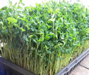 ky thuat trong va cham soc cay dau ha lan 3 - Kỹ thuật trồng và chăm sóc cây đậu Hà Lan