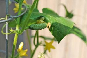 ky thuat trong va cham soc cay dua chuot tai nha 5 - Kỹ thuật trồng và chăm sóc cây dưa chuột tại nhà
